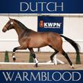 dutch warmblood